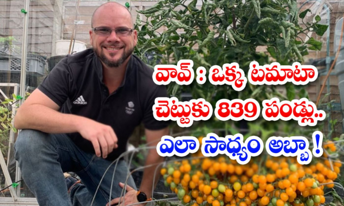 British Man Makes World Record By Growing Over 839 Cherry Tomatoes On Single Stem-వావ్.. ఒక్క టమాటా చెట్టుకు 839 పండ్లు..ఎలా సాధ్యం అబ్బా-General-Telugu-Telugu Tollywood Photo Image-TeluguStop.com