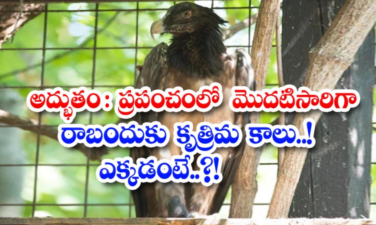 Awesome The Worlds First Vulture Prosthetic Leg Where Is It-అద్భుతం: ప్రపంచంలో మొదటిసారిగా రాబందుకు కృత్రిమ కాలు.. ఎక్కడంటే..-General-Telugu-Telugu Tollywood Photo Image-TeluguStop.com