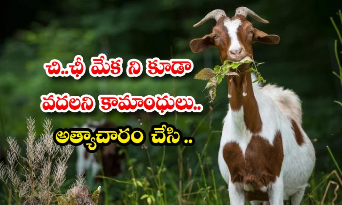 Goat Raped By Five People Brutally In Pakistan Country-చి… ఛీ …. మేక ని కూడా వదలని కామాంధులు… అత్యాచారం చేసి….-Latest News - Telugu-Telugu Tollywood Photo Image-TeluguStop.com