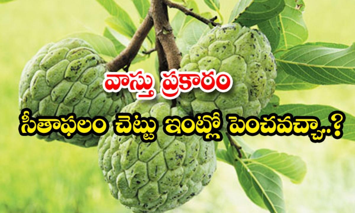 Vasthu Principles For Custard Apple In Home-వాస్తు ప్రకారం సీతాఫలం చెట్టు ఇంట్లో పెంచవచ్చా-Latest News - Telugu-Telugu Tollywood Photo Image-TeluguStop.com
