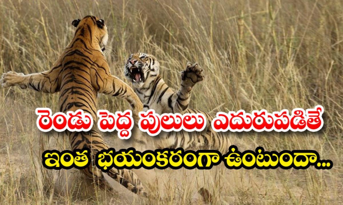 Fight Between Two Tigers Viral Video-రెండు పెద్ద పులులు ఎదురు పడితే ఇంత భయంకరంగా ఉంటుందా..-General-Telugu-Telugu Tollywood Photo Image-TeluguStop.com
