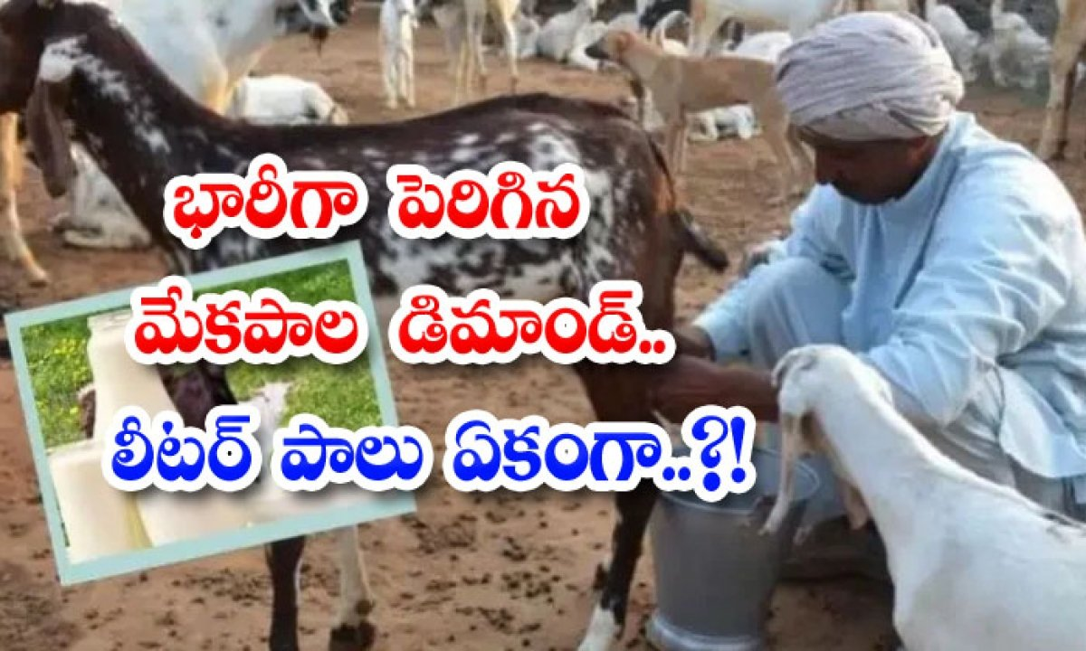Goat Milk Too Costly And Demand One Litre Cost-భారీగా పెరిగిన మేకపాల డిమాండ్.. లీటర్ పాలు ఏకంగా..-General-Telugu-Telugu Tollywood Photo Image-TeluguStop.com
