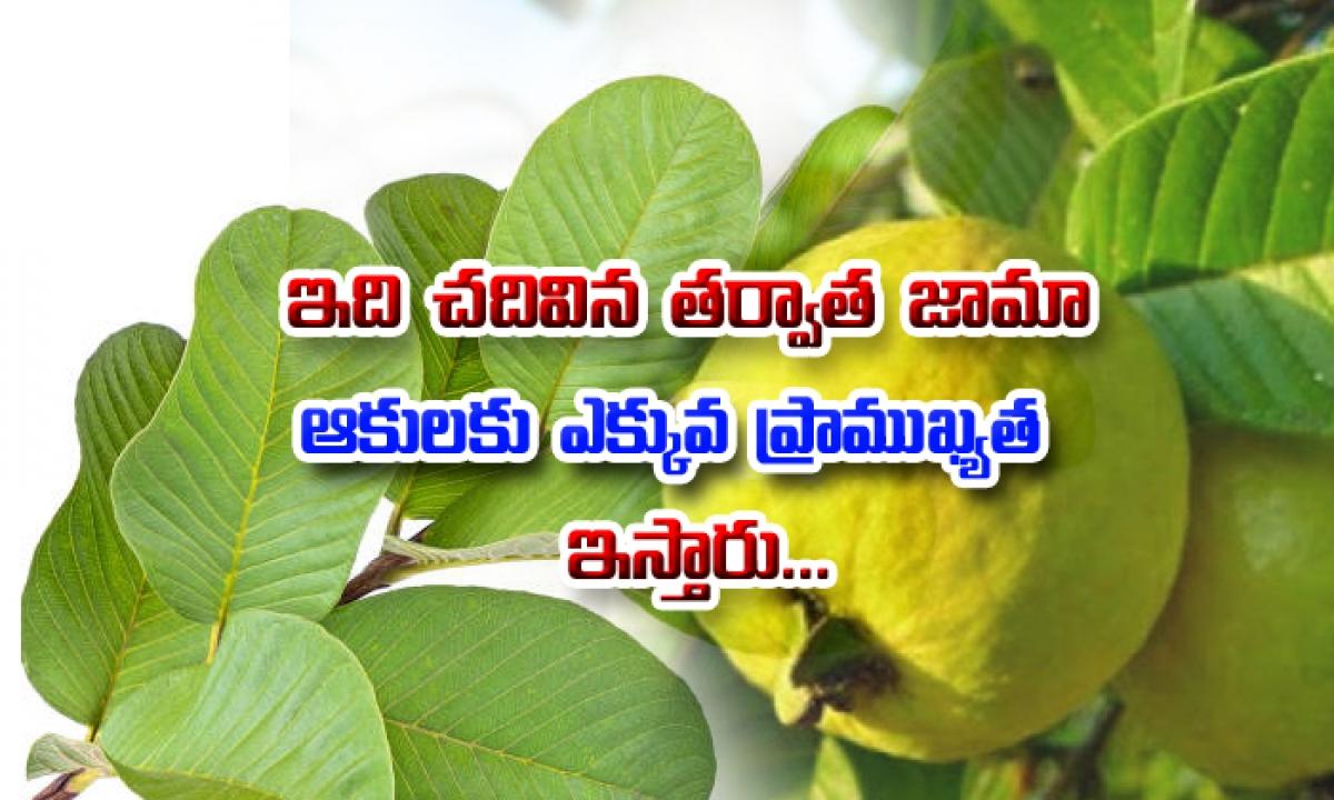 Health Benefits Of Guava Leaves-ఇది చదివిన తర్వాత జామ కాయల కంటే జామ ఆకులకు ఎక్కువ ప్రాముఖ్యత ఇస్తారు-Telugu Health-Telugu Tollywood Photo Image-TeluguStop.com