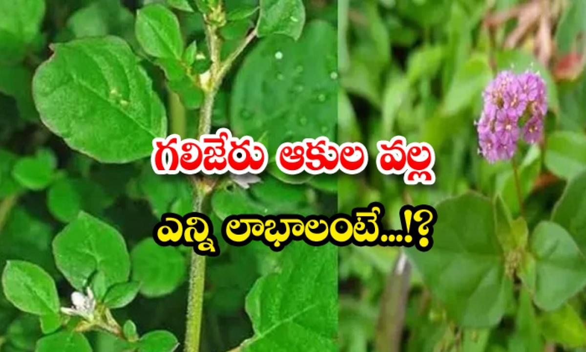 Benefits Of Eating Galijeru Leaves-గలిజేరు ఆకుల వల్ల ఎన్ని లాభాలంటే…-Latest News - Telugu-Telugu Tollywood Photo Image-TeluguStop.com