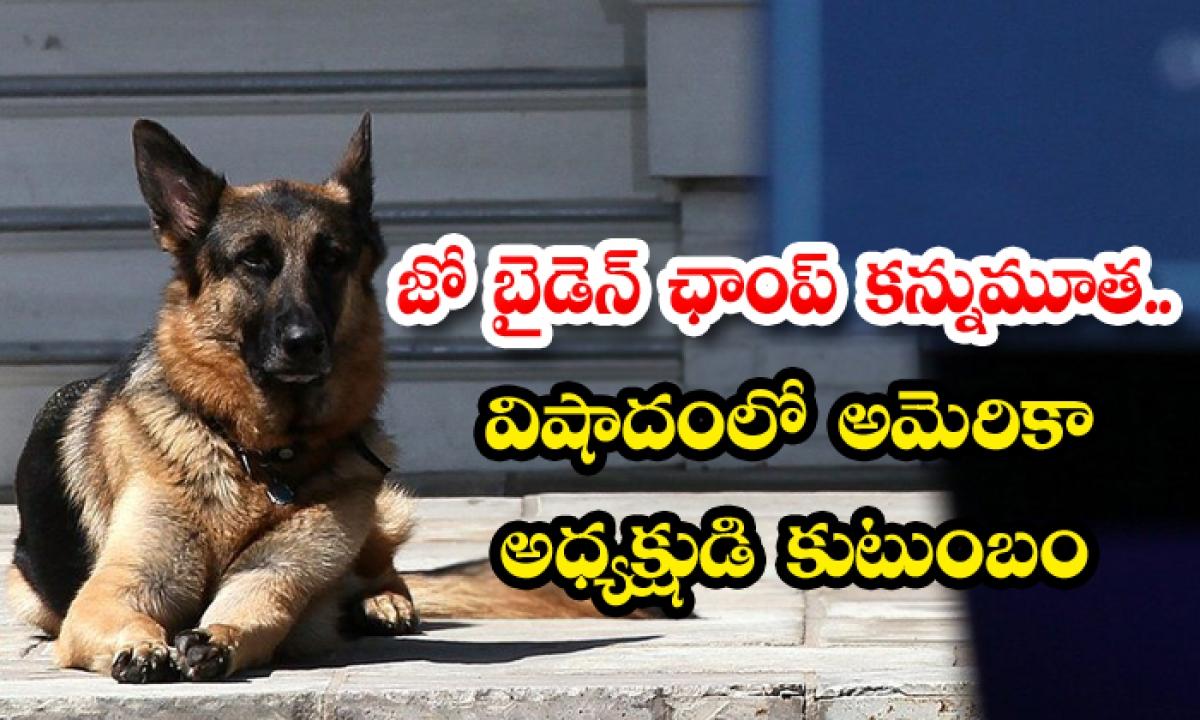 Joe Bidens Dog Champ Cherished Companion For 13 Years Dies-జో బైడెన్ '' ఛాంప్'' కన్నుమూత.. విషాదంలో అమెరికా అధ్యక్షుడి కుటుంబం-Latest News - Telugu-Telugu Tollywood Photo Image-TeluguStop.com