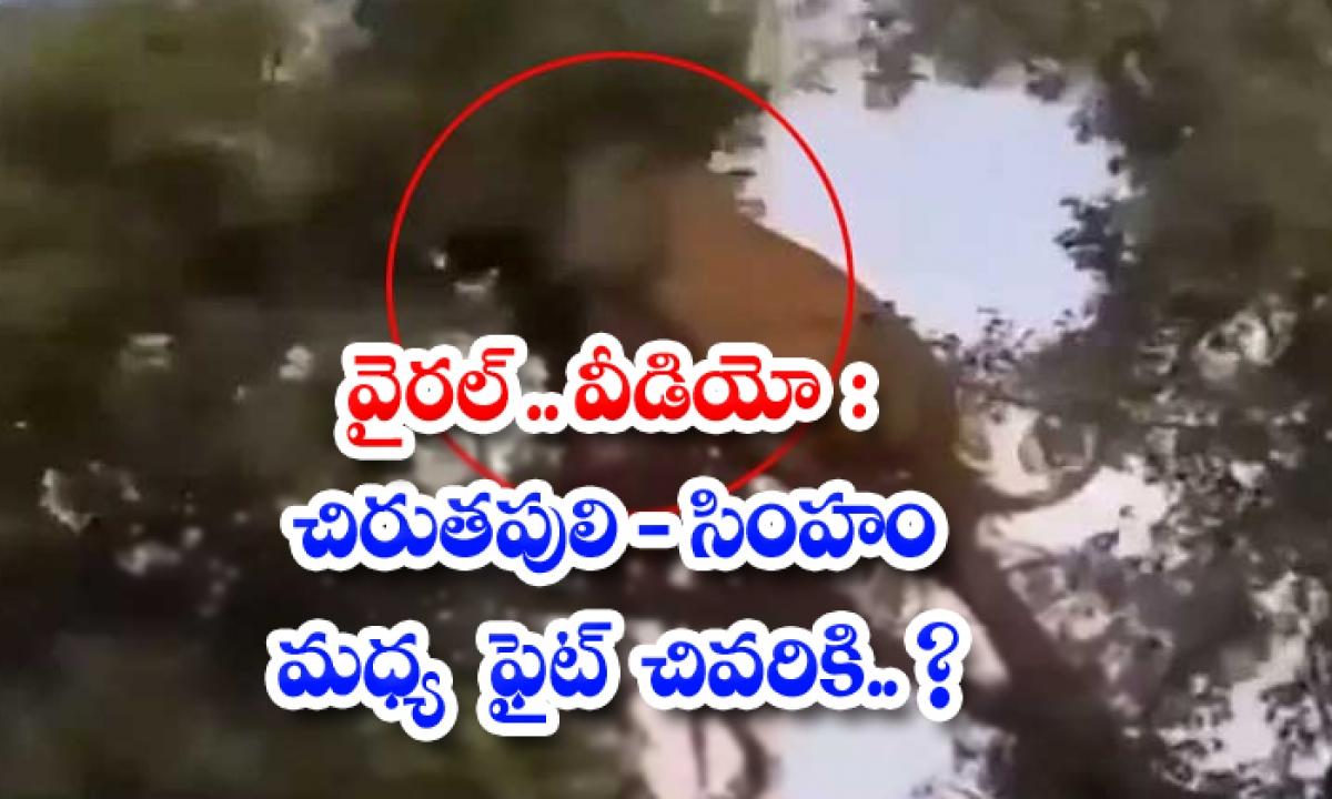 Viral Video Leopard Fight Between The Lion Finally-TeluguStop.com