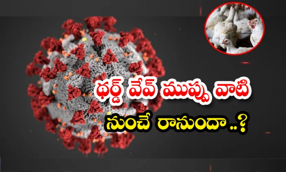 Covid 19 Third Wave Effect Is On Bird Flu And Chickens-థర్డ్ వేవ్ ముప్పు వాటి నుంచే రానుందా…-General-Telugu-Telugu Tollywood Photo Image-TeluguStop.com