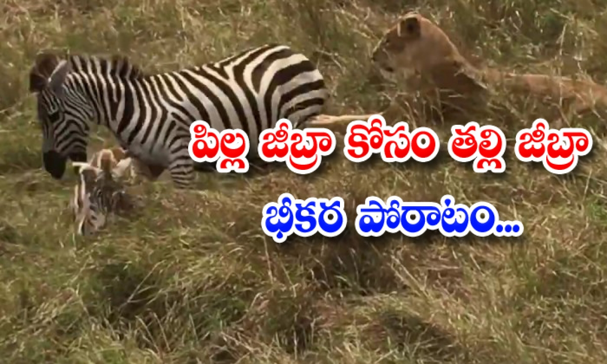 Viral Video Mother Zebra Fight With Lion-TeluguStop.com