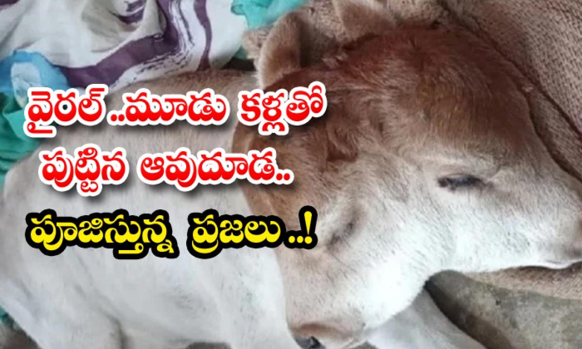 Rare Calf Born With 2 Heads 3 Eyes In Odisha-వైరల్.. మూడు కళ్లతో పుట్టిన ఆవుదూడ.. పూజిస్తున్న ప్రజలు-General-Telugu-Telugu Tollywood Photo Image-TeluguStop.com