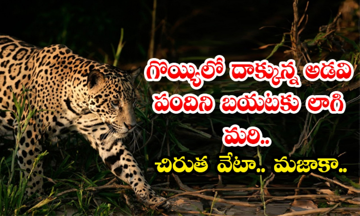 Pull Out The Wild Boar Hiding In The Pit Leopard Hunting-గొయ్యిలో దాక్కున్న అడవి పందిని బయటకు లాగి మరి.. చిరుత వేటా.. మజాకా..-General-Telugu-Telugu Tollywood Photo Image-TeluguStop.com