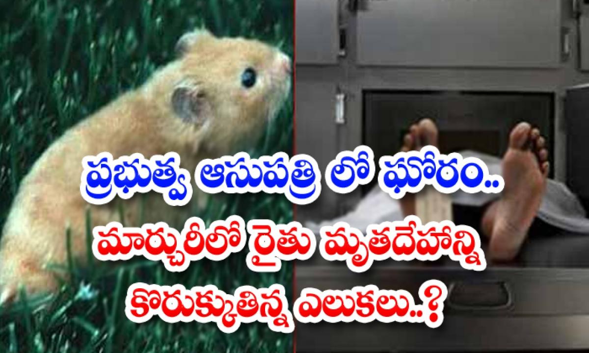 Rats Biting A Farmer Body In A Mortuary-ప్రభుత్వ ఆసుపత్రిలో ఘోరం.. మార్చురీలో రైతు మృతదేహాన్ని కొరుక్కుతిన్న ఎలుకలు.. -Breaking/Featured News Slide-Telugu Tollywood Photo Image-TeluguStop.com