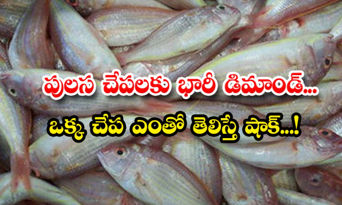 Huge Demand Pulasa Fish Cost Godavari-పులస చేపలకు భారీ డిమాండ్.. ఒక్క చేప ఎంతో తెలిస్తే షాక్-General-Telugu-Telugu Tollywood Photo Image-TeluguStop.com