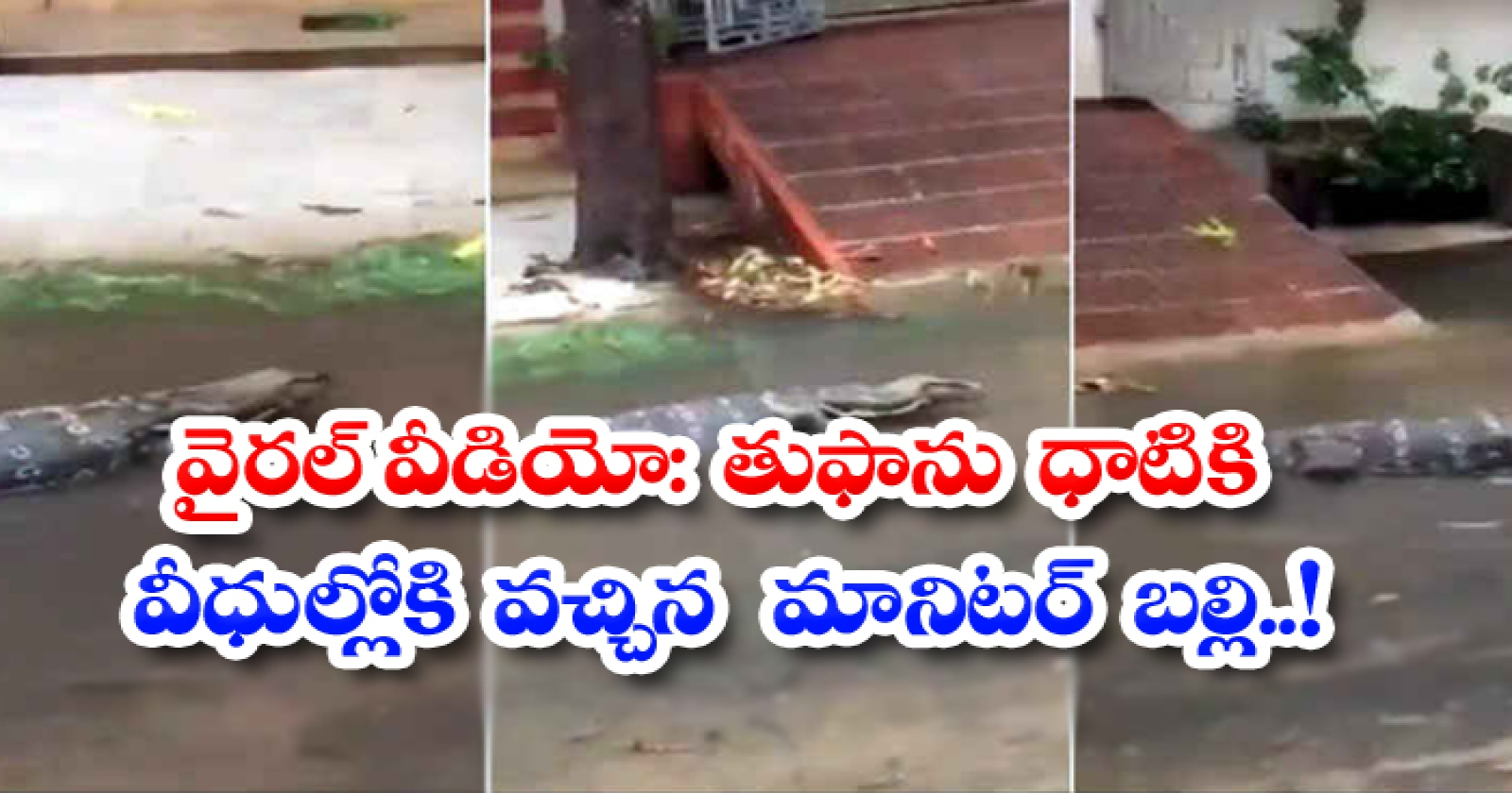 Viral Video Monitor Lizard On The Streets After The Storm-వైరల్ వీడియో: తుఫాను ధాటికి వీధుల్లోకి వచ్చిన మానిటర్ బల్లి..-General-Telugu-Telugu Tollywood Photo Image-TeluguStop.com