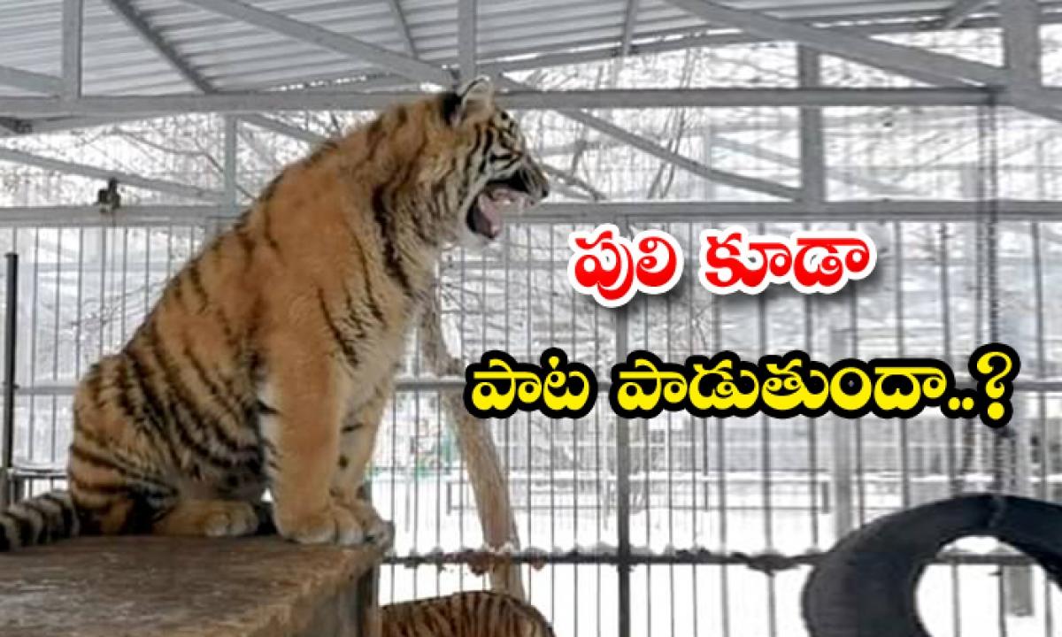 Tiger Cub Singing Video Viral-TeluguStop.com