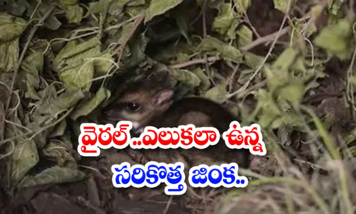 Viral The Newest Deer That Looks Like A Rat-TeluguStop.com
