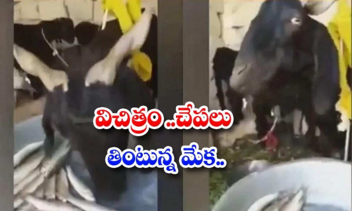 Strange A Goat Eating Fish-విచిత్రం.. చేపలను తింటున్న మేక..-General-Telugu-Telugu Tollywood Photo Image-TeluguStop.com