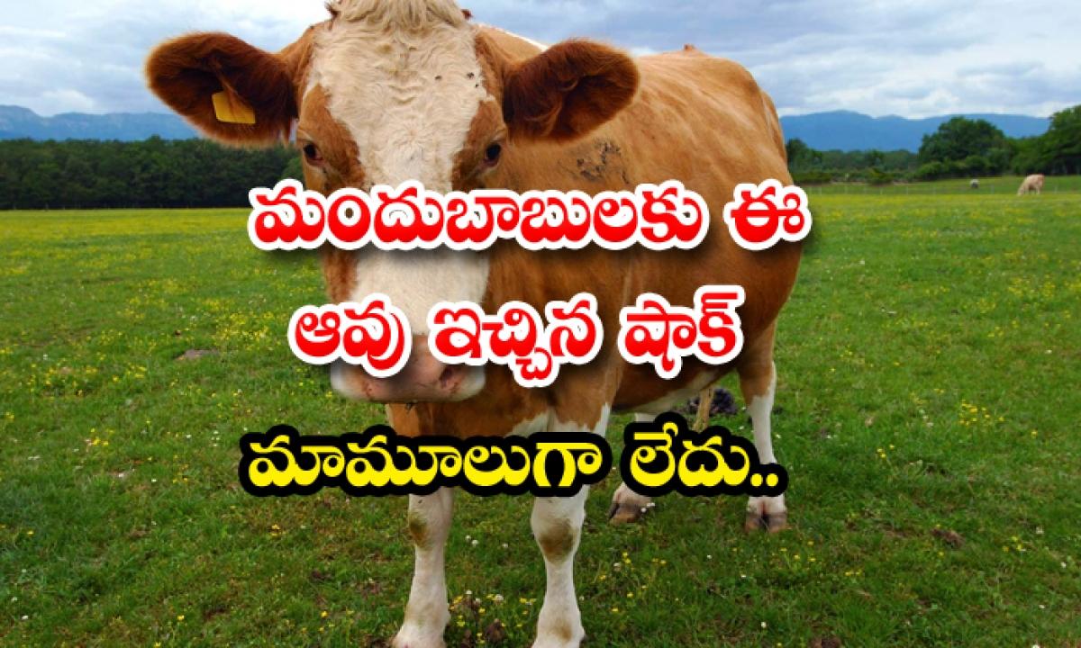 The Shock Given By This Cow To Drunkeras Is Not Normal-మందుబాబులకు ఈ ఆవు ఇచ్చిన షాక్ మామూలుగా లేదు..-General-Telugu-Telugu Tollywood Photo Image-TeluguStop.com