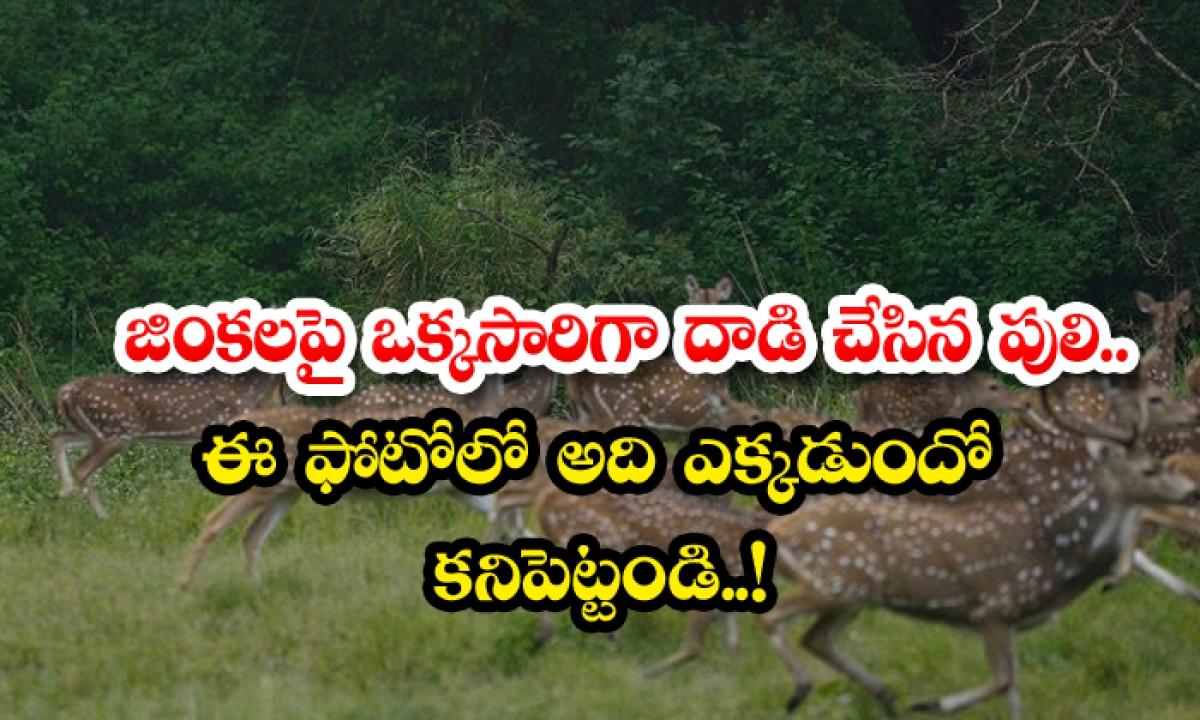 The Tiger That Attacked The Deer At Once Find Out What Is In This Photo-జింకలపై ఒక్కసారిగా దాడి చేసిన పులి.. ఈ ఫొటోలో అదెక్కడుందో కనిపెట్టండి..-General-Telugu-Telugu Tollywood Photo Image-TeluguStop.com
