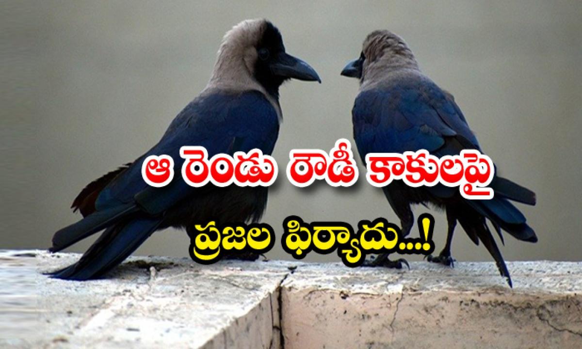 Aggressive Two Crows Damaging Cars In Uk-ఆ రెండు రౌడీ కాకులపై ప్రజల ఫిర్యాదు-Latest News - Telugu-Telugu Tollywood Photo Image-TeluguStop.com