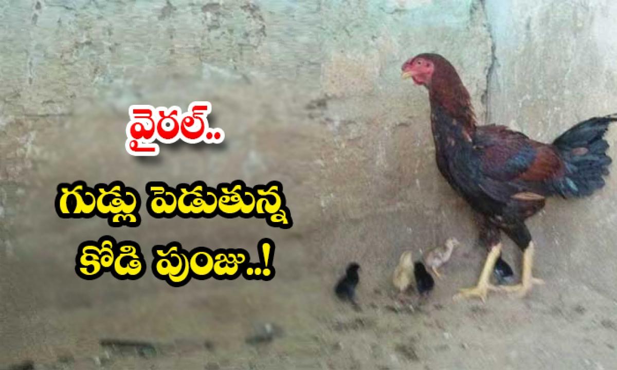 Viral Hen Laying The Eggs Cock-వైరల్.. గుడ్లు పెడుతున్న కోడి పుంజు..-General-Telugu-Telugu Tollywood Photo Image-TeluguStop.com