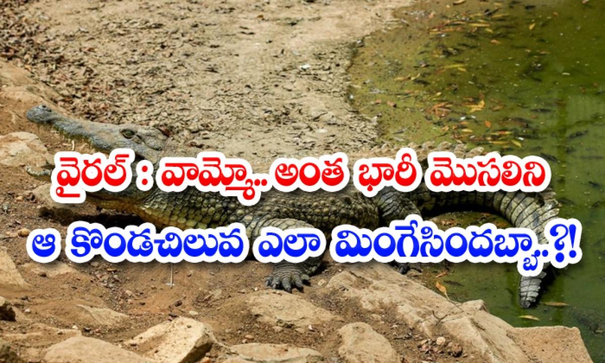 Viral Vammo How Did That Little Crocodile Swallow Such A Huge Crocodile-వైరల్: వామ్మో.. అంత భారీ మొసలిని ఆ కొంచిలువ ఎలా మింగేసిందబ్బా..-General-Telugu-Telugu Tollywood Photo Image-TeluguStop.com