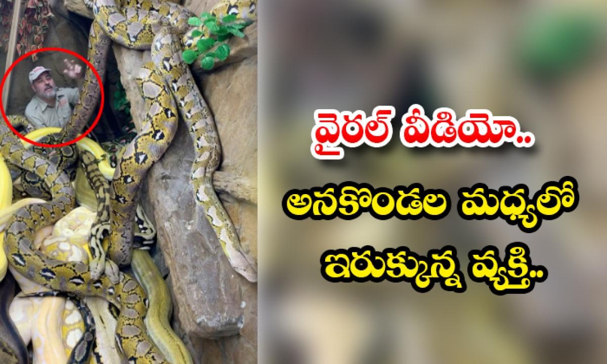 Viral Video A Man Stuck In The Middle Of The Pythons-వైరల్ వీడియో.. అనకొండల మధ్యలో ఇరుక్కున్న వ్యక్తి..-General-Telugu-Telugu Tollywood Photo Image-TeluguStop.com