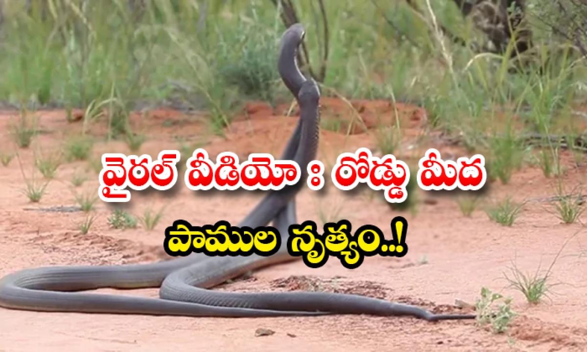 Viral Video Snake Dance On The Road-వైరల్ వీడియోః రోడ్డుమీద పాముల నృత్యం..-General-Telugu-Telugu Tollywood Photo Image-TeluguStop.com