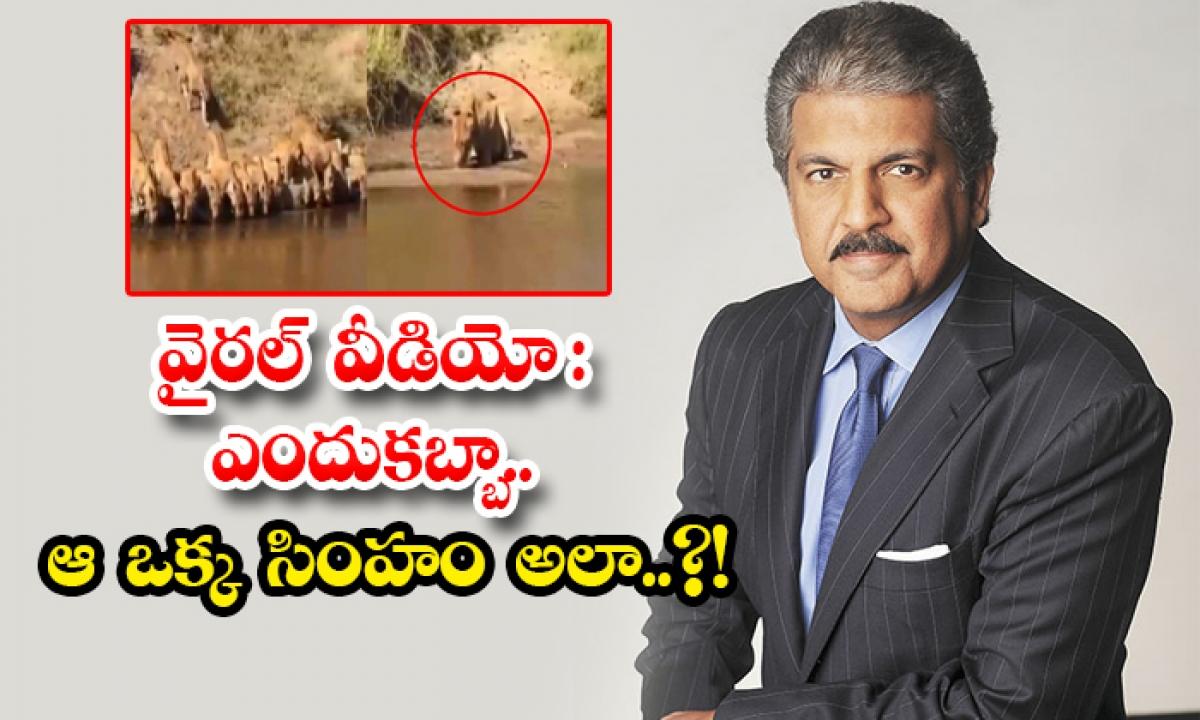Anand Mahindra Shared A Video Of Lion Drinking Water Alone-వైరల్ వీడియో: ఎందుకబ్బా.. ఆ ఒక్క సింహం అలా..-General-Telugu-Telugu Tollywood Photo Image-TeluguStop.com