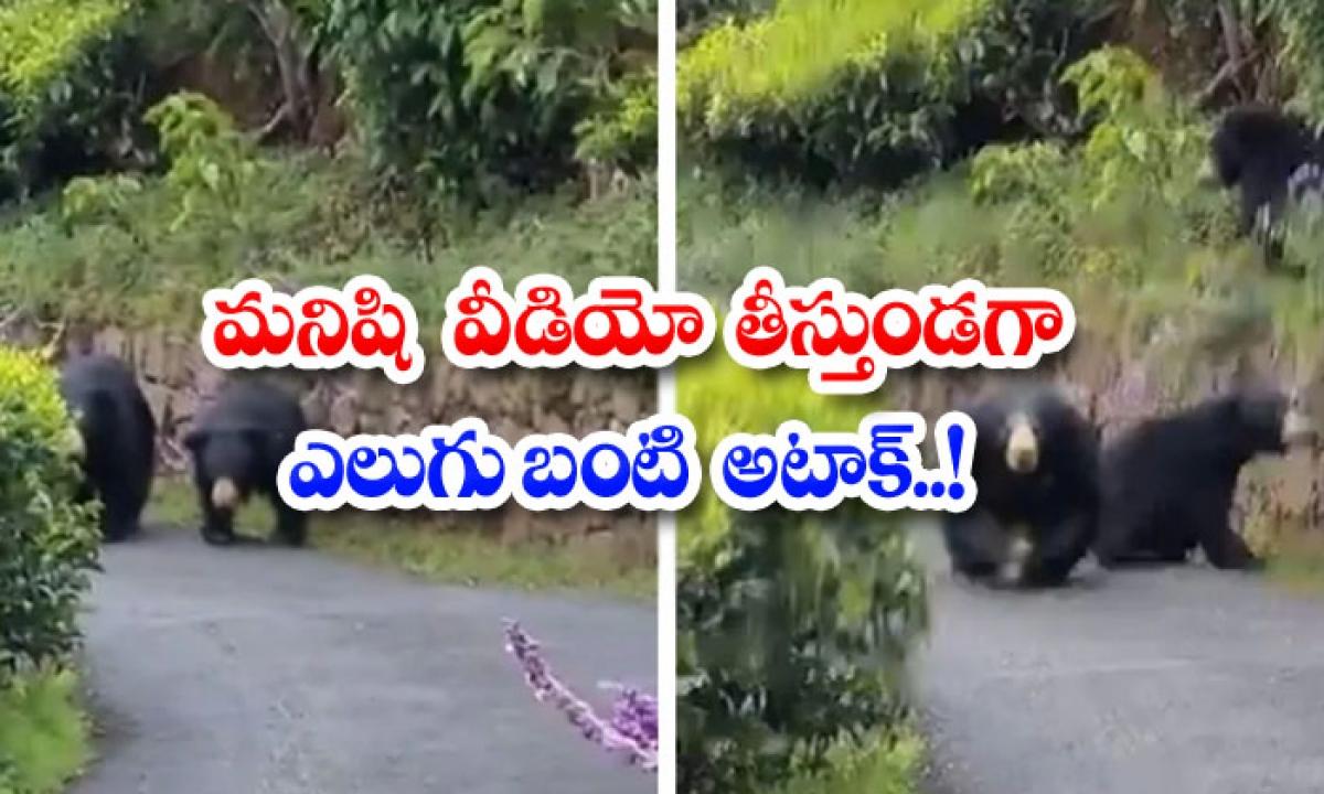 Viral Video Bear Attack While Man Is Taking Video-వైరల్ వీడియో: మనిషి వీడియో తీస్తుండగా ఎలుగుబంటి అటాక్..-General-Telugu-Telugu Tollywood Photo Image-TeluguStop.com