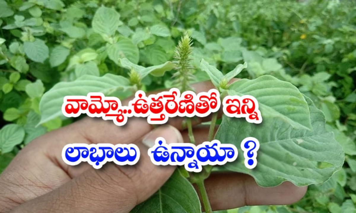 Wonderful Benefits Of Uttareni Plant-వామ్మో..ఉత్తరేణితో ఇన్ని లాభాలు ఉన్నాయా-Latest News - Telugu-Telugu Tollywood Photo Image-TeluguStop.com
