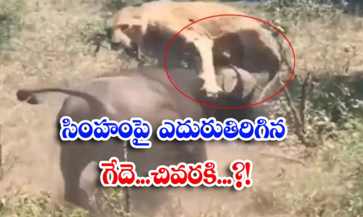 Buffalo Suddenly Attacks Lion Viral Video Viral Latest-వైరల్ వీడియో: సింహంపై ఎదురుతిరిగిన గేదె.. చివరకి..-General-Telugu-Telugu Tollywood Photo Image-TeluguStop.com
