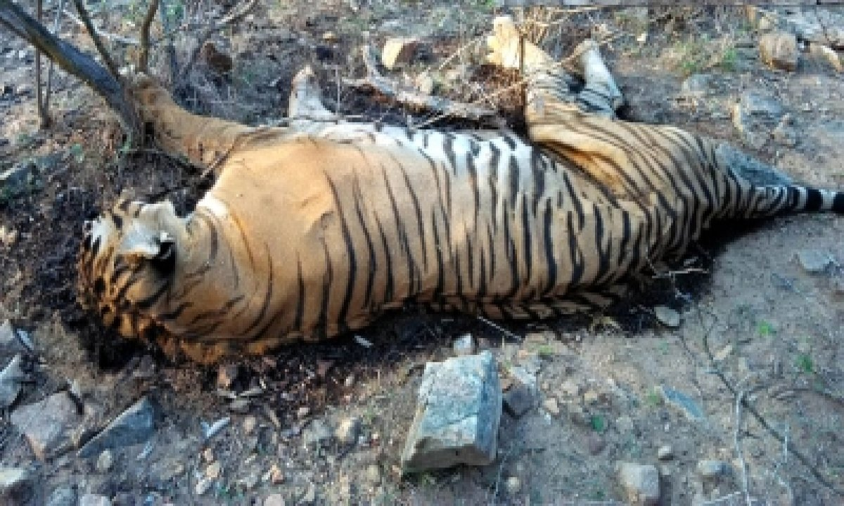 Carcass Of Tiger Found In Dudhwa Reserve-TeluguStop.com