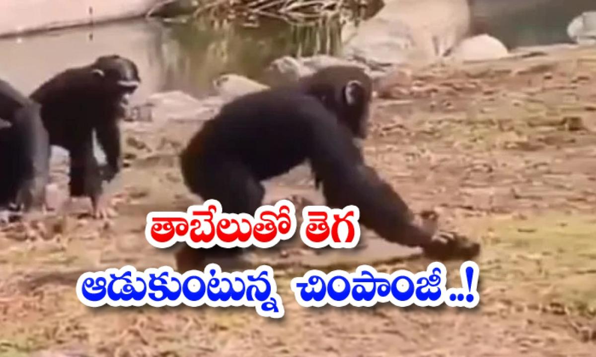 Viral Video Chimpanzee Playing Tribe With A Turtle-వైరల్ వీడియో: తాబేలుతో తెగ ఆడుకుంటున్న చింపాంజీ..-General-Telugu-Telugu Tollywood Photo Image-TeluguStop.com