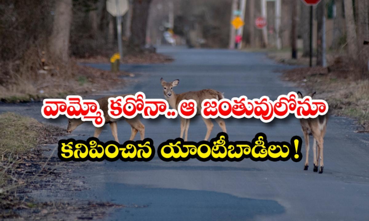 Corona Antibodies Found In That Animal-వామ్మో కరోనా.. ఆ జంతువులోనూ కనిపించిన యాంటీబాడీలు-General-Telugu-Telugu Tollywood Photo Image-TeluguStop.com