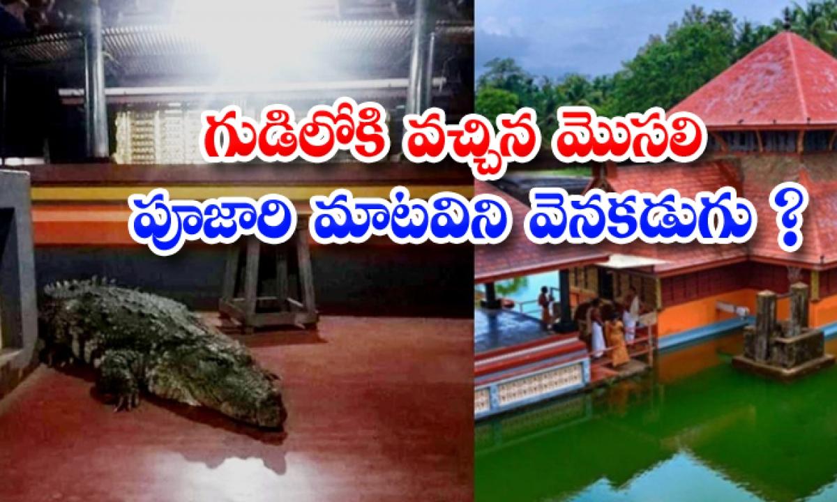 Crocodile Enters Kerala Temple Leaves After Priests Request-TeluguStop.com