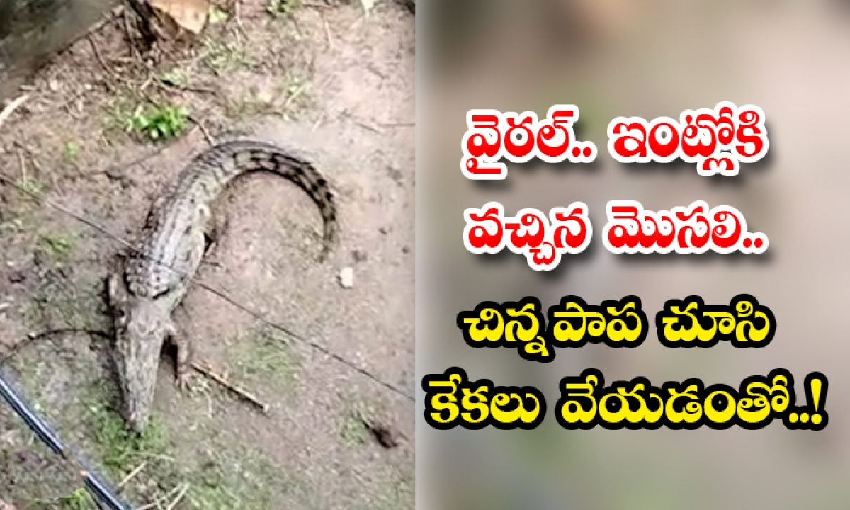 Crocodile Turned Out To Be In The House Video Viral-వైరల్.. ఇంట్లోకి వచ్చిన మొసలి.. చిన్న పాప చూసి కేకలు వేయడంతో..-General-Telugu-Telugu Tollywood Photo Image-TeluguStop.com