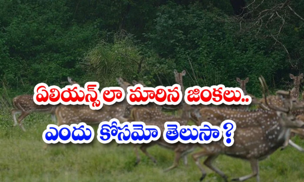 Deer That Have Become Aliens Do You Know Why-ఏలియన్స్గా మారిన జింకలు.. ఎందు కోసమో తెలుసా-General-Telugu-Telugu Tollywood Photo Image-TeluguStop.com
