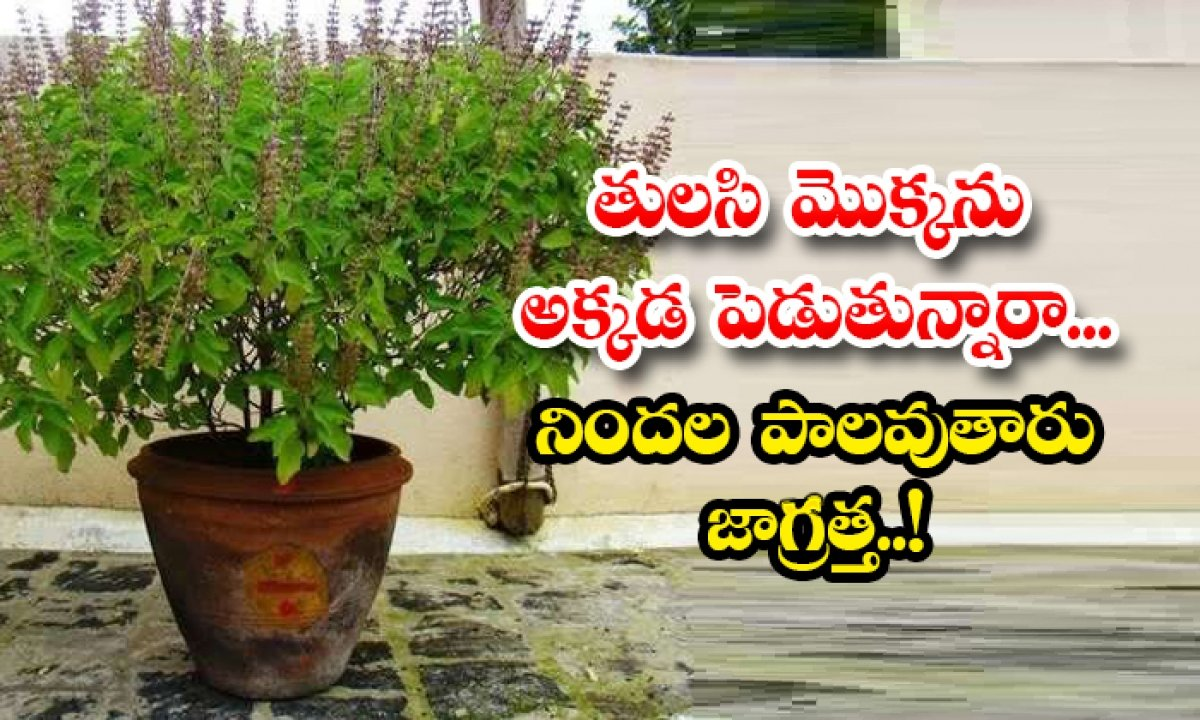 Are You Putting A Basil Plant There Beware Of Blame-TeluguStop.com