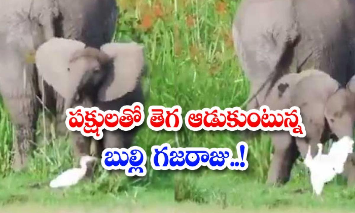 Viral Video Bully Gajaraju Playing Tribe With Birds-వైరల్ వీడియో: పక్షులతో తెగ ఆడుకుంటున్న బుల్లి గజరాజు..-General-Telugu-Telugu Tollywood Photo Image-TeluguStop.com