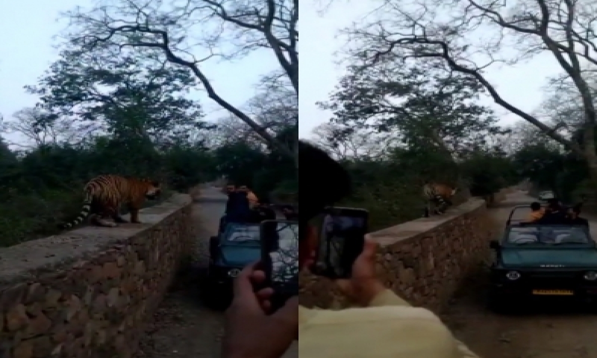 Excited Tourists React As Tiger Walks Along Their Vehicle-TeluguStop.com