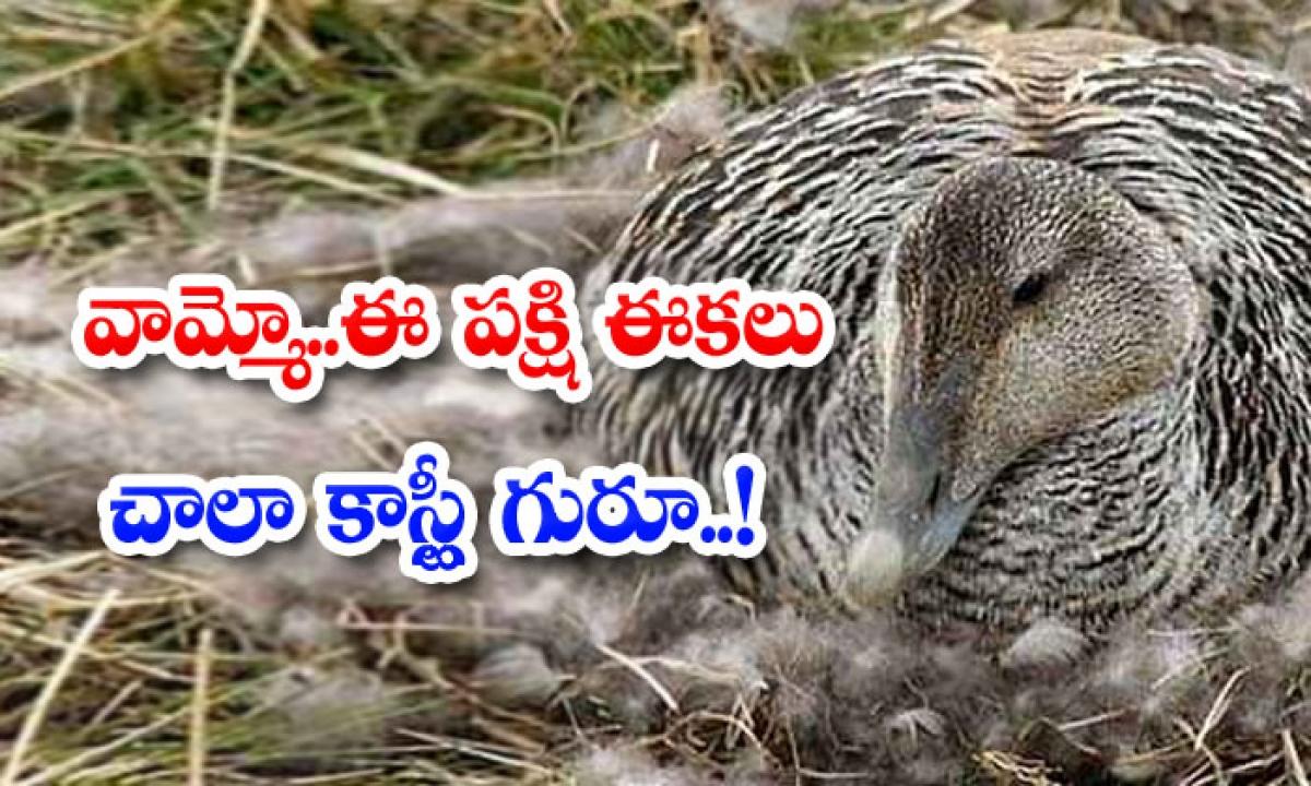 This Bird Feathers Are Very Costly-వైరల్: వామ్మో.. ఈ పక్షి ఈకలు చాలా కాస్ట్లీ గురూ..-General-Telugu-Telugu Tollywood Photo Image-TeluguStop.com