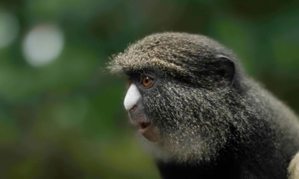 Female Putty-nosed Monkeys Use Males As 'hired Guns': Study-TeluguStop.com