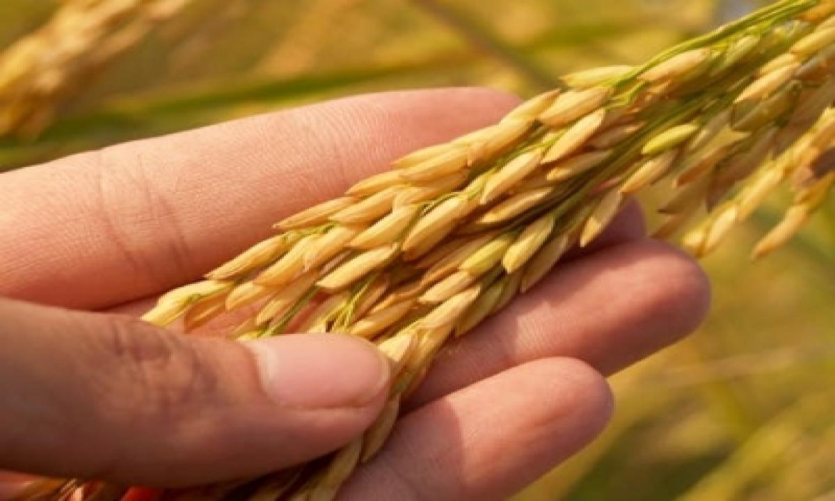 Foodgrains Worth Rs 1.6k Cr Procured In Andhra-TeluguStop.com