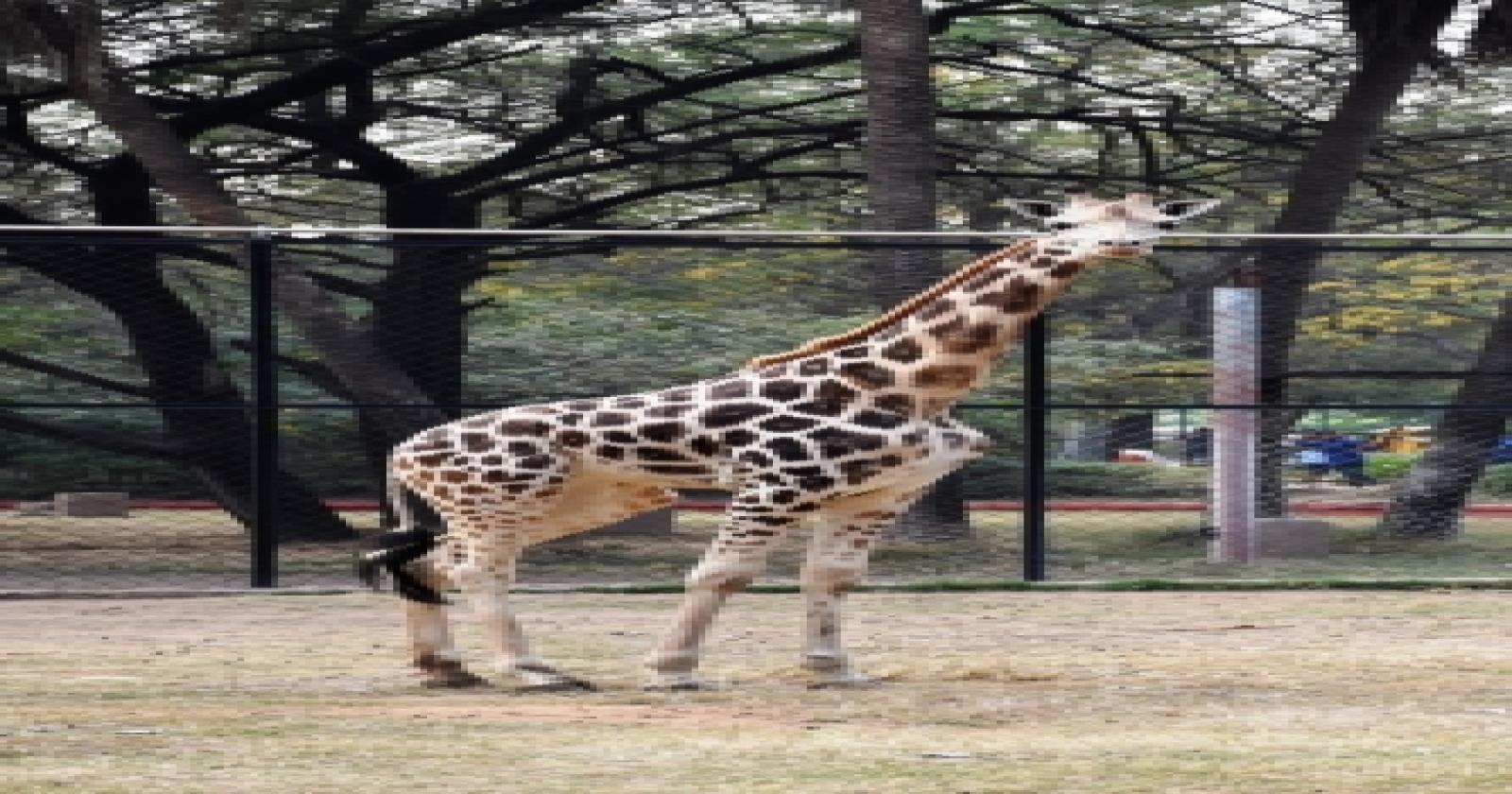 Four-year-old Giraffe Dies At Hyderabad Zoo-TeluguStop.com