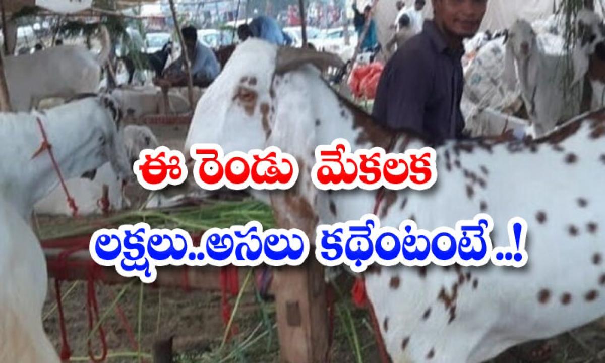 Lakhs For These Two Goats The Original Story Is-ఈ రెండు మేకలకు లక్షలు..అసలు కథేంటంటే…-General-Telugu-Telugu Tollywood Photo Image-TeluguStop.com