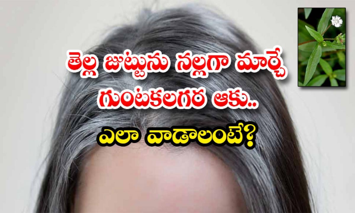Guntagalagara Aaku Reduce White Hair-TeluguStop.com