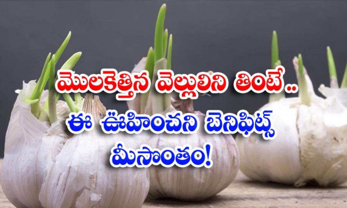 Health Benefits Of Sprouted Garlic Sprouted Garlic Sprouted Garlic For Health-మొలకెత్తిన వెల్లుల్లిని తింటే..ఈ ఊహించని బెనిఫిట్స్ మీసొంతం-Latest News - Telugu-Telugu Tollywood Photo Image-TeluguStop.com