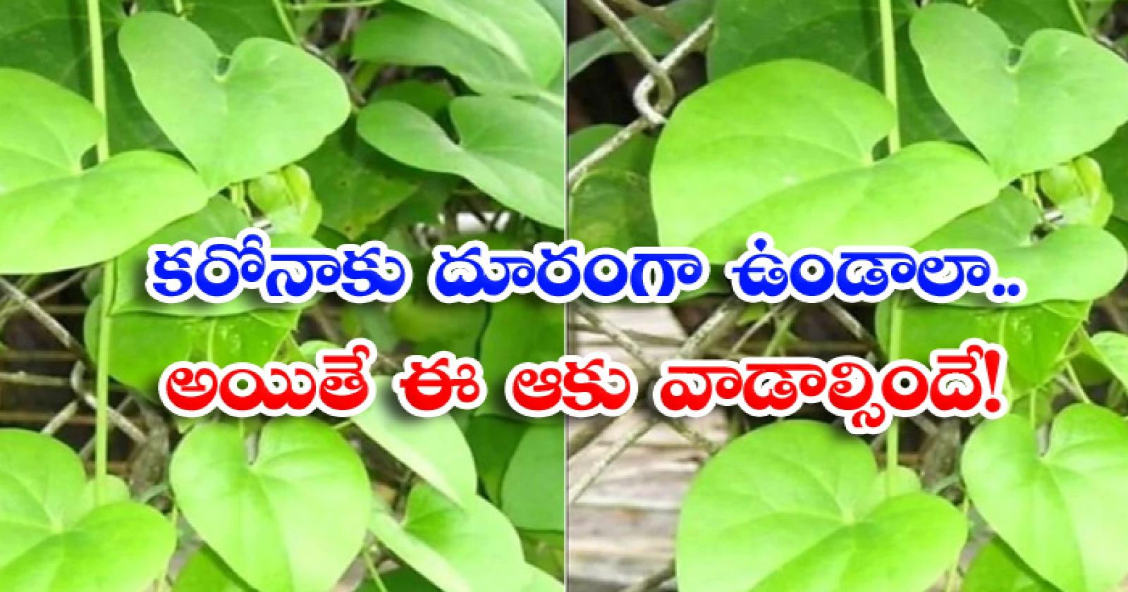 Health Benefits Of Tippa Teega Corona Time Tippa Teega-కరోనాకు దూరంగా ఉండాలా..అయితే ఈ ఆకు వాడాల్సిందే-Latest News - Telugu-Telugu Tollywood Photo Image-TeluguStop.com
