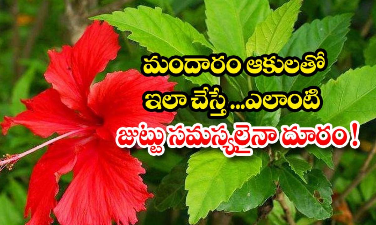 Hibiscus Leaves For Hair Problems-మందారం ఆకులతో ఇలా చేస్తే.. ఎలాంటి జుట్టు సమస్యలైనా దూరం-Latest News - Telugu-Telugu Tollywood Photo Image-TeluguStop.com