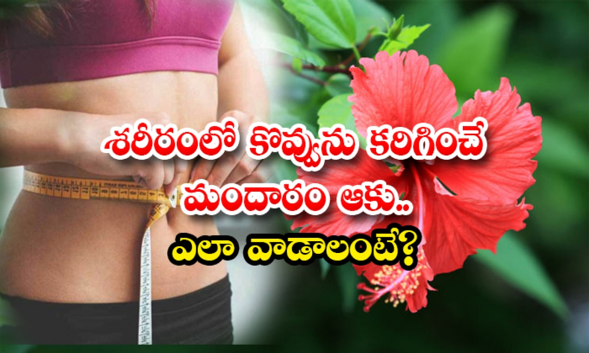 Hibiscus Leaves Help To Reduce Body Fat-శరీరంలో కొవ్వును కరిగించే మందారం ఆకు..ఎలా వాడాలంటే-Latest News - Telugu-Telugu Tollywood Photo Image-TeluguStop.com